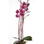 Phalaenopsis porpra
